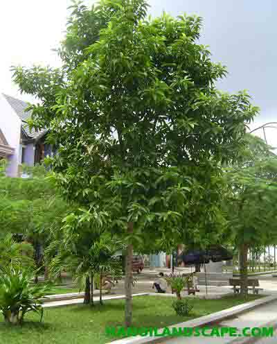 Cây Ngọc lan - Michelia alba