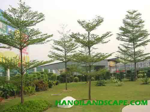 Cây Bàng đài loan (Terminalia molineti)