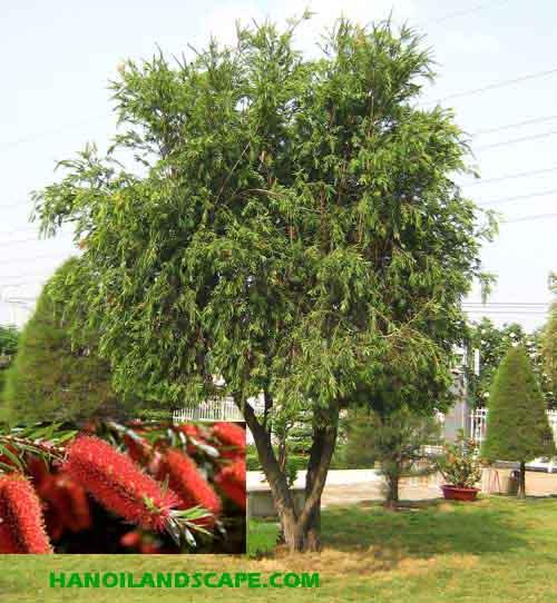 Cây Liễu đỏ (Callistemon citrinus)